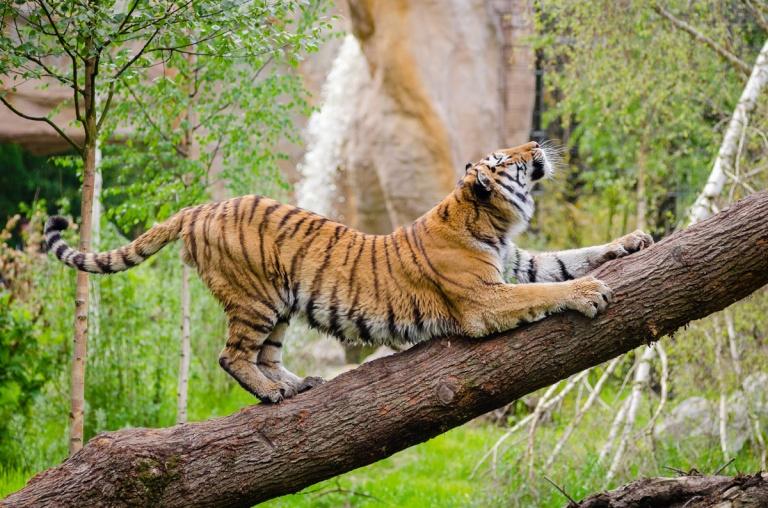tiger stretching.jpg